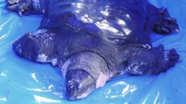 O gigante softshell do Yangtze macho é agora o único de sua espécie deixado em cativeiro