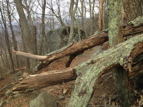 A tree fell in the way of the path forcing us to practice our pole vaulting.
