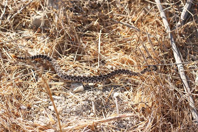 Rattlesnake on trail