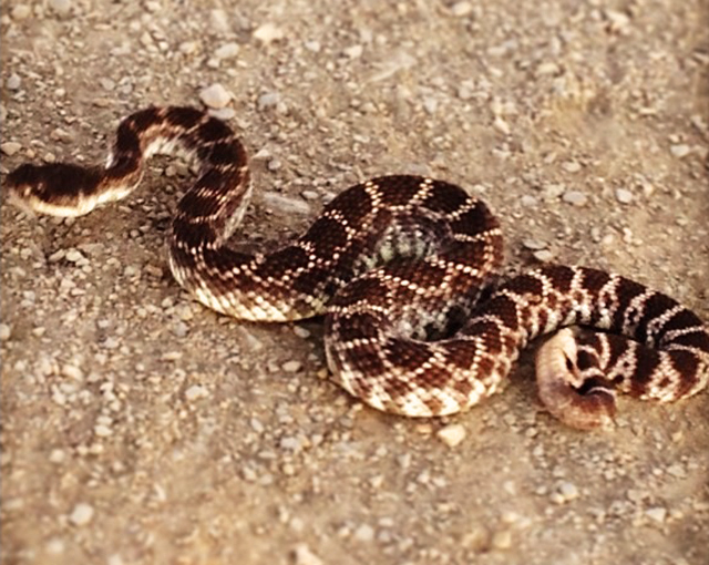 snake curled up on trail