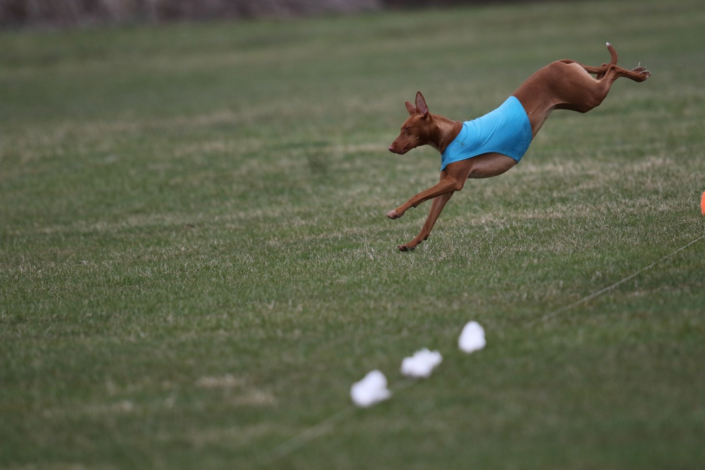 A pharaoh hound in a blue shirt is chasing a lure in a field.