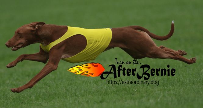 A pharaoh hound, shown in a yellow vest while lure coursing with text: Turn on the AfterBernie
