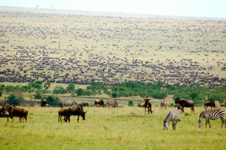 Wildebeest Migration in the Masai Mara