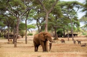 Elephant at Swala Tarangire