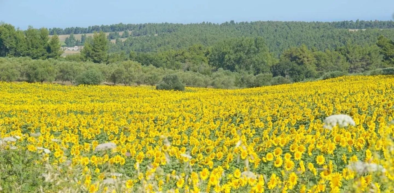 A Sunflower field in Halkidiki Greece. My Sunday Photo, extraordinarychaos.com