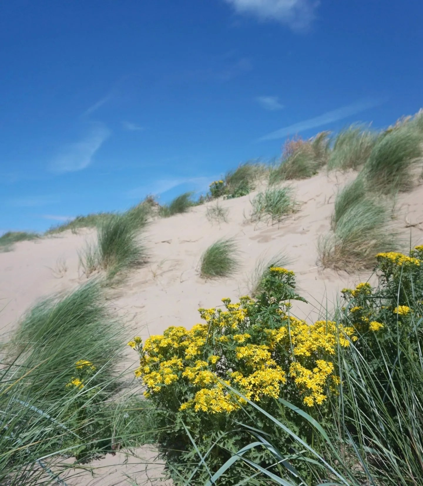 Flowers on The Sand Dunes At St Annes www.extraordinarychaos.com