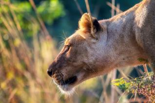 Eus Motivational Monday Quote The Lion Or The Gazelle The Vance