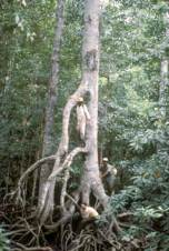 Rhizophora spp. in Papua New Guinea. In the absence of hurricanes and chain saws, individual trees may reach 40m or more. Photo courtesy of Barry Clough.