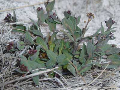 E. salsugineum in situ in the Yukon