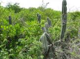 Rhizophora mangle on coast of Curaçao growing interspersed with the cactus Stenocereus griseus (local name yatu). Yatu is a night blooming species, listed in CITES Appendix II. It is locally used for fences.