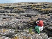 """Collecting Spergularia media, Waterford, Ireland from lichen covered limestone with shallow pockets of """"soil""""."""