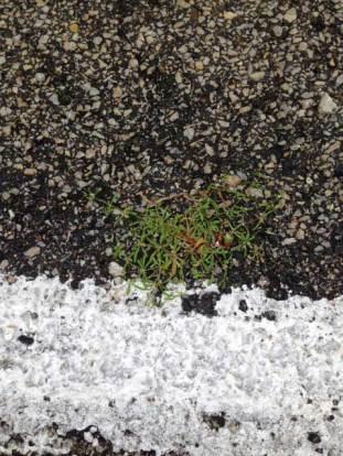 Galium spp. (bedstraw) in parking lot