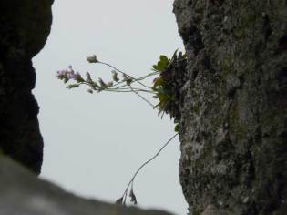 """Limonium vulgare on the cliffs of Great Blaskett Island, Ireland. Normally a """"salt marsh"""" species, this (and many coastal halophytes) can establish wherever a seed can lodge in a small crack."""