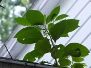 Phytolacca americana (American pokeweed) in a rain gutter.