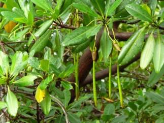 Rhizophora mangle with propagules. Piscadera Baai, Curaçao. Photo by John Cheeseman
