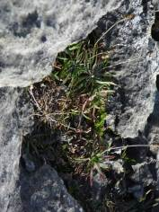 """Plantago maritima as a """"chasmophyte"""" on the west coast of Ireland."""