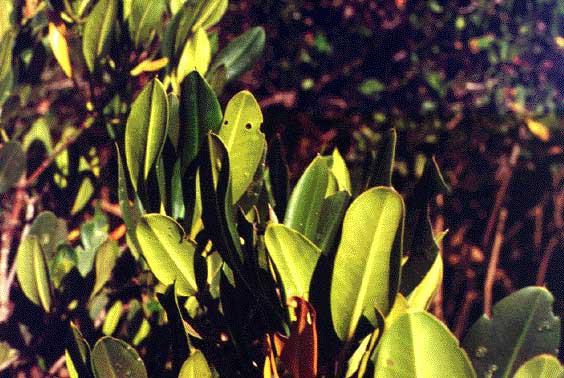 Rhizophora-vert-leaf