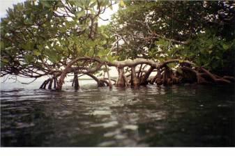 Rhizophora mangle at Twin Cays, Belize. Photo by John Cheeseman.