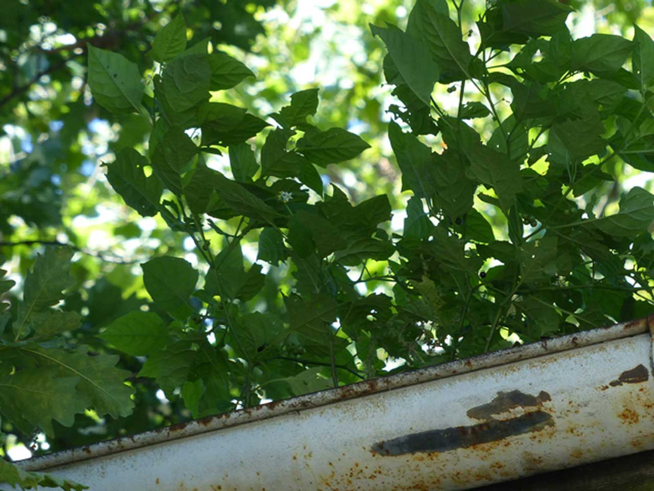 Solanum_dense-stand
