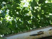 A dense stand of Solanum ptycanthus (black nightshade) in a rain gutter.