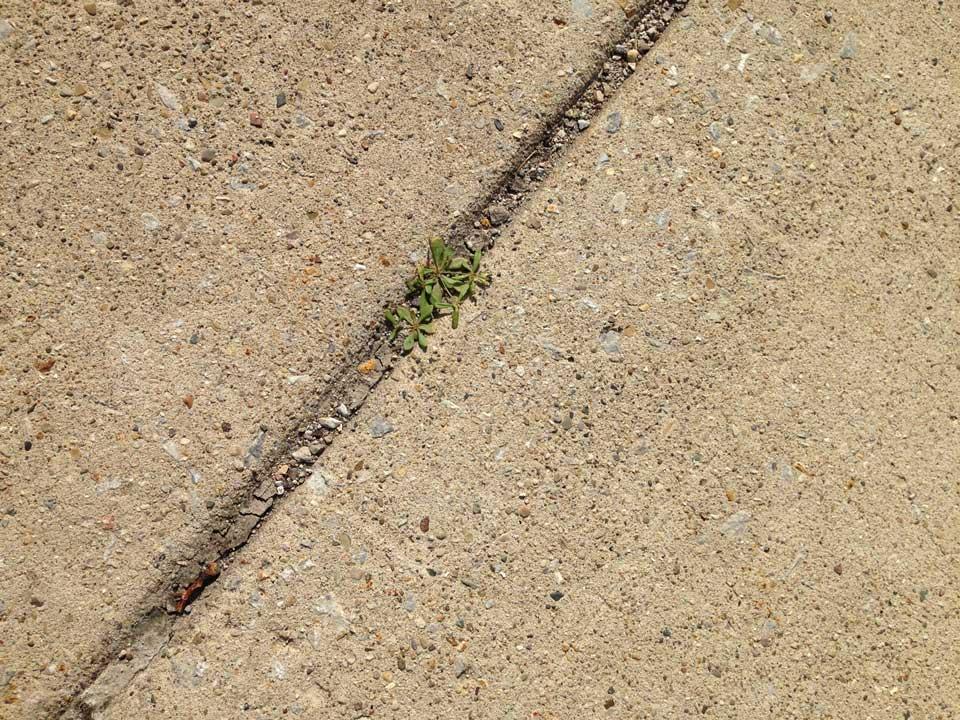 sidewalk_chasmophyte