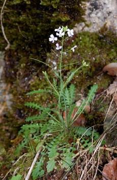 Arabidopsis arenosa subsp. borbasii. Photo by Kirsten Bomblies.
