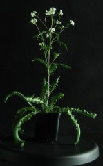 Arabidopsis arenosa from a national park in southern Poland - no heavy metal contamination. Photo from Ewa Maria Przedpełska-Wąsowicz