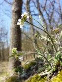 Arabidopsis arenosa... from wikimedia