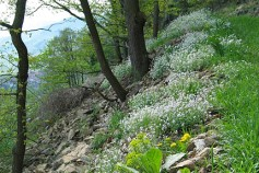 Arabidopsis arenosa population in open and dry oak forest in the Wachau region close to the Danube river (Austia). From Prof. Dr. Martin Koch.
