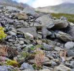 Arabidopsis pumila on serpentine soil, Gulsen Mountain, Austria. Photo from Levi Yant, JIC.