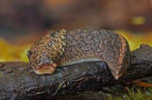 Deroceras reticulatum - the gray field slug