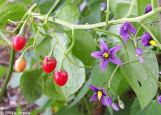 Solanum dulcamara flowers and fruits. From Robyn Burnham, University of Michigan.