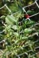 Solanum dulcamara in its role as climbing nightshade. From Robyn Burnham, University of Michigan