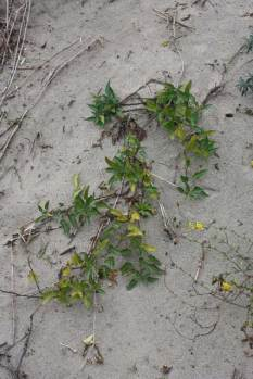 Solanum dulcamara growing on a sand dune at the Flaauwe-werk sea dike in the Netherlands. Photo courtesy of Dr. Janny Peters, Radboud University. Note the very small leaves.