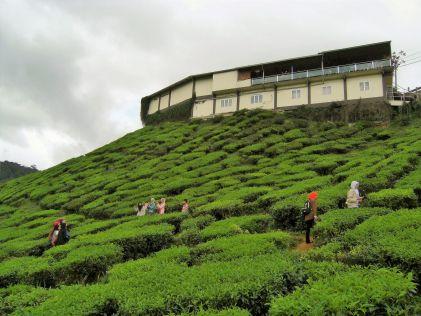 Plantación de té, Cameron Highlands, Malasia
