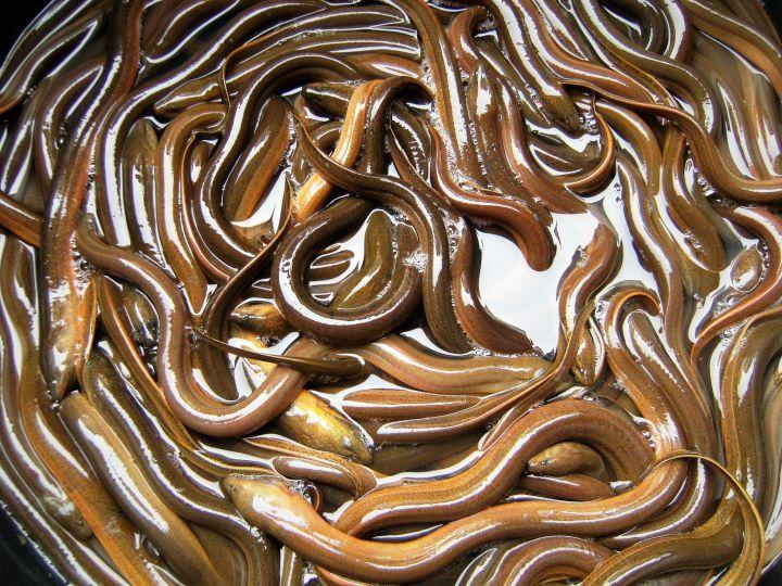 Anguilas en mercado, Laos