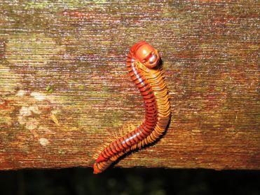 Insectos copulando, Borneo