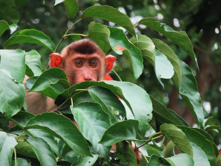 Macaco, Borneo