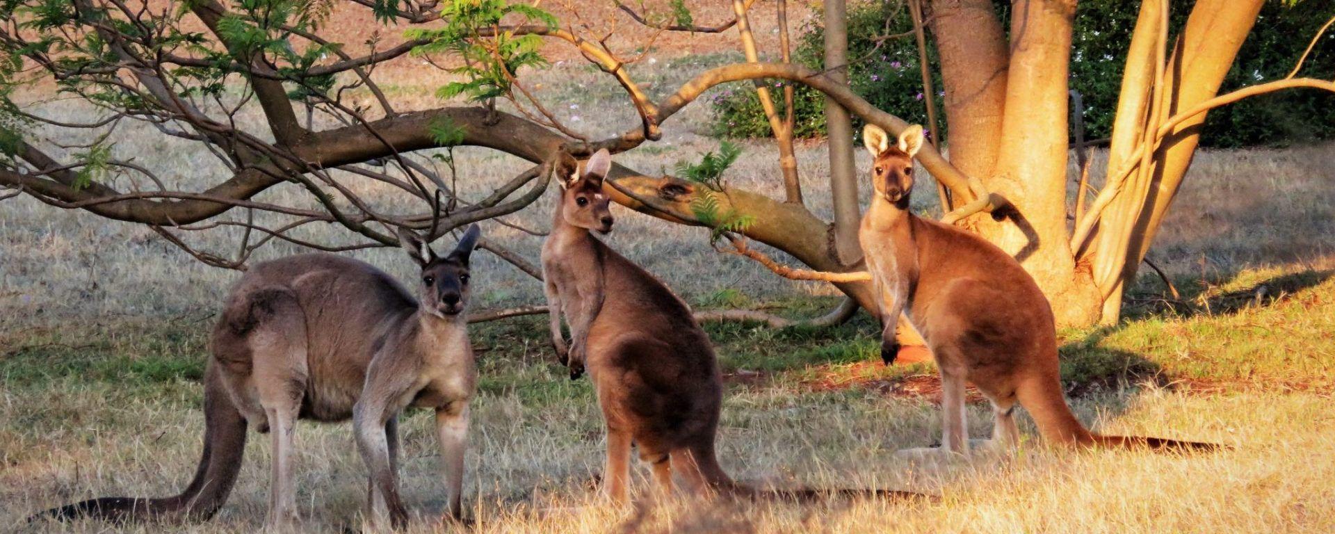Australia, donde los canguros se aparean