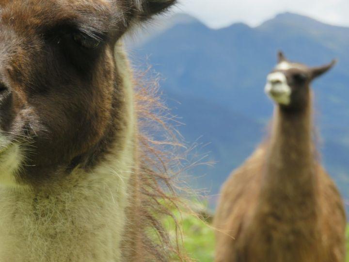 Llamas5