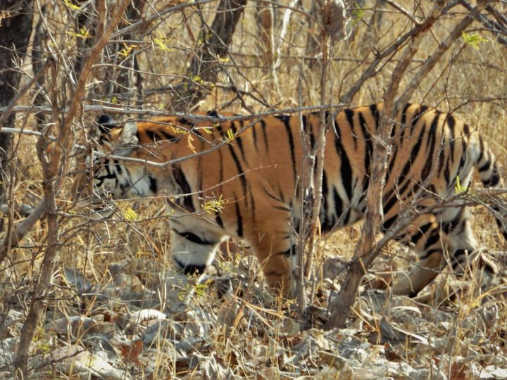 Tigre de Bengala, Panna Tiger Reserve, Khajuraho, India