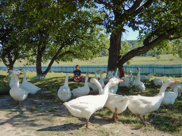 Moldavia, pastoreando gansos
