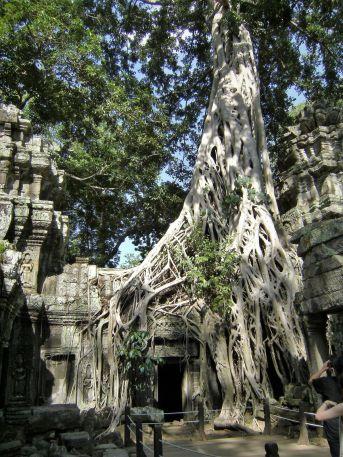 Higuera en Angkor Ta Prohm, Camboya