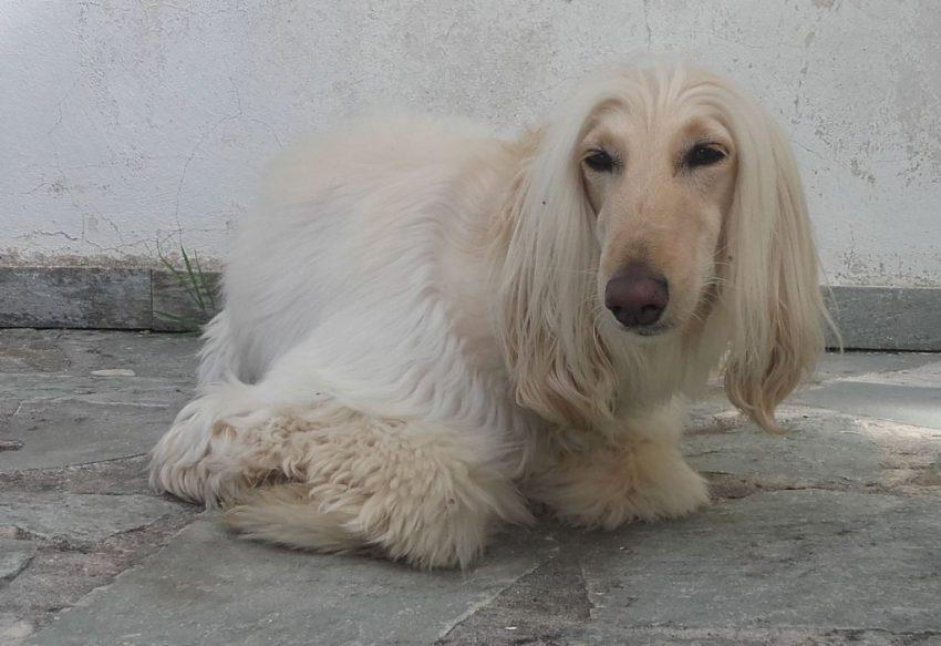female afghan hound afghanen