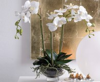 Moth Orchid from Bloom