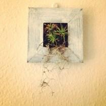 My framed air plant