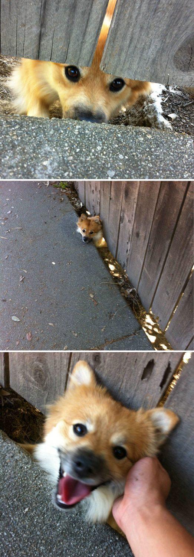 funny-dogs-sticking-heads-through-fences-3-57a2fedaef56b__700