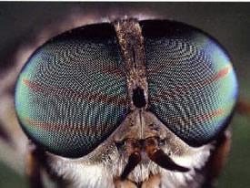 compound eye