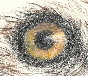 osprey eye drawing
