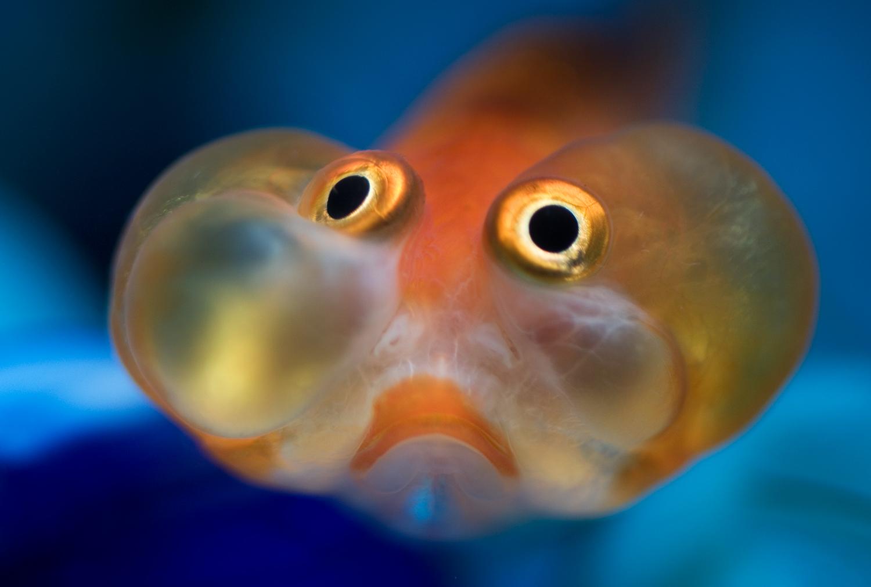 little orange fish eyes